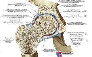 Вертлужная впадина тазобедренный сустав