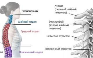 Строение шейного отдела позвоночника человека фото